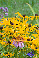 Butterfly insect on Echinacea
