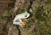 0306-0917  Red-eyed Tree Froglet (Young Frog), Agalychnis callidryas  © David Kuhn/Dwight Kuhn Photography.