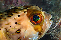 Balloonfish, Diodon holocanthus, on a fringing reef around one of the islets in the Los Frailes group near the north east coast of Margarita Island, Venezuala, Caribean Sea. do, de