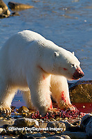 01874-12811 Polar bear (Ursus maritimus) eating Ringed Seal (Phoca hispida)  in winter, Churchill Wildlife Management Area, Churchill, MB Canada