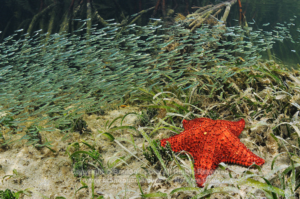 qa32099-D. minnows schooling over Cushion Sea Star (Oreaster reticulatus) in the mangroves. Bahamas, Atlantic Ocean..Photo Copyright © Brandon Cole. All rights reserved worldwide.  www.brandoncole.com..This photo is NOT free. It is NOT in the public domain. This photo is a Copyrighted Work, registered with the US Copyright Office. .Rights to reproduction of photograph granted only upon payment in full of agreed upon licensing fee. Any use of this photo prior to such payment is an infringement of copyright and punishable by fines up to  $150,000 USD...Brandon Cole.MARINE PHOTOGRAPHY.http://www.brandoncole.com.email: brandoncole@msn.com.4917 N. Boeing Rd..Spokane Valley, WA  99206  USA.tel: 509-535-3489