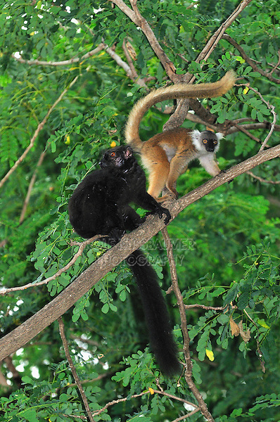 Black Lemur (Eulemur macaco macaco), male and female, Lokobe Nature Special Reserve, Nosy Be, Northern Madagascar