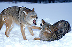 Coyote, Canis latrans, pair fighting, playing in field, snow, winter, controlled situation, Minnesota.USA....