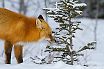 A red fox stands in the snow in Jasper National Park near the treeline.