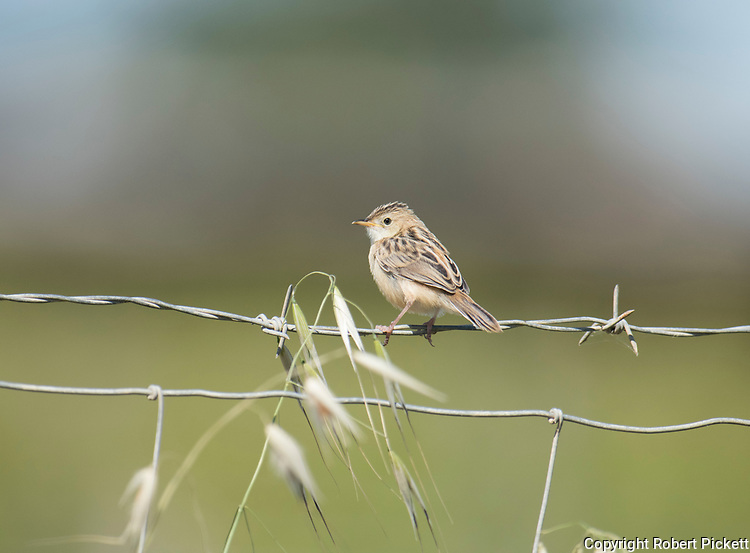 Zitting Cisticola or Streaked Fantail Warbler, Cisticola juncidis, Ria Formosa East, Algarve, Portugal, perched on barbed wire fence