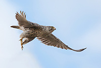 Adult gray morph gyrfalcon in flight