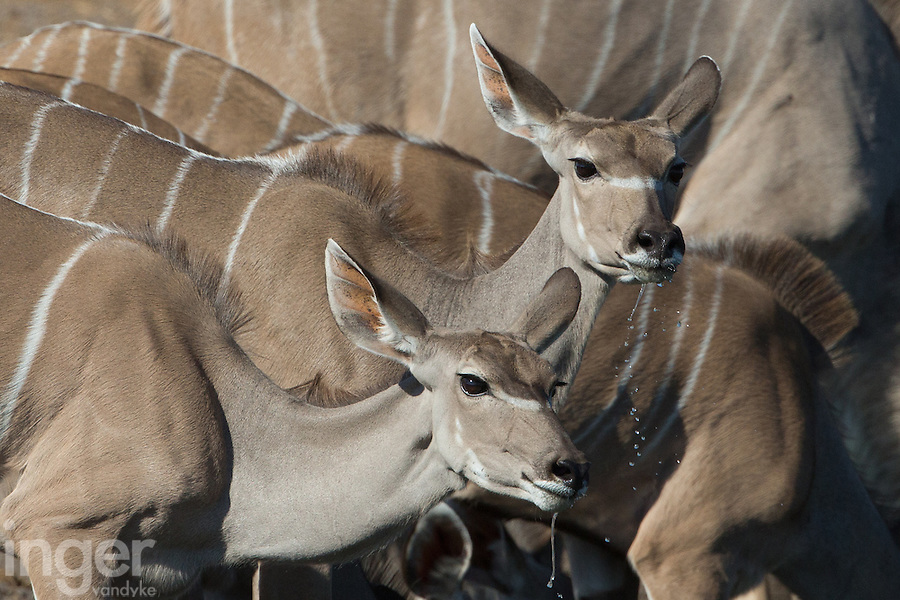 Female Kudu drinking at Klein Namutoni Water Hole in Etosha, Namibia