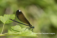 06014-00315 Ebony Jewelwing (Calopteryx maculata) female Washington Co. MO