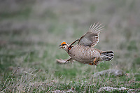 Lesser Prairie Chicken, Canadian, Texas