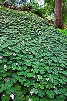 Redwood sorrel, (Oxalis oregana) shady woodland groundcover in California native plant garden, Tilden, East Bay Regional Park