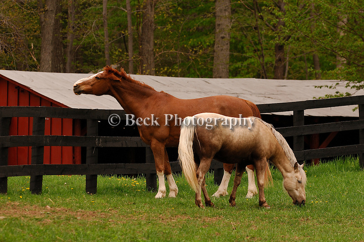 Two  horses grazing at Springdale Farm, PA.