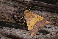 Rotbuchen-Gelbeule, Gold-Gelbeule, Buchen-Goldeule, Tiliacea aurago, Xanthia aurago, Noctua aurago, Barred Sallow, Eulenfalter, Noctuidae, noctuid moths, noctuid moth