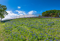 Bluebonnets along a fence in this serene setting with a nice blue sky white puffy clouds and large trees it leads you eye down the fence line to this wonderful bluebonnets landscape.