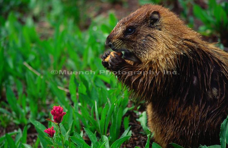 Marmot, Rocky Mountain National Park