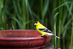 Male American goldfinch perched on a bird bath