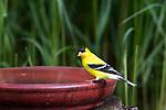 Male American goldfinch perched on a bird bath