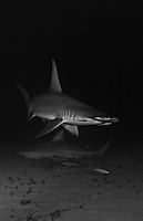 RR1983-Drbw. Great Hammerhead Shark (Sphyrna mokarran) swims above a Bull Shark (Carcharhinus leucas) over sandy bottom at night. Bahamas, Atlantic Ocean. Color photo converted to black and white.<br /> Photo Copyright &copy; Brandon Cole. All rights reserved worldwide.  www.brandoncole.com