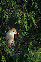 524938019 Cattle Egret Bubulcus ibis WILD.Adult in breeding plumage in rookery.East Texas