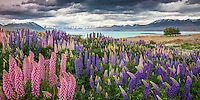 Mass of Lupin blooms at Lake Tekapo, Mackenzie Country, South Island,New Zealand - stock photo, canvas, fine art print