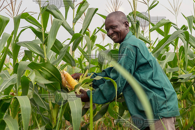 A farm worker checks a cob from a crop of maize growing in a field.