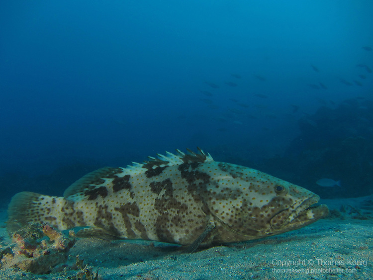 Kenting, Taiwan -- Lateral view of an orange-spotted grouper (Epinephelus coioides), resting on sand.<br />