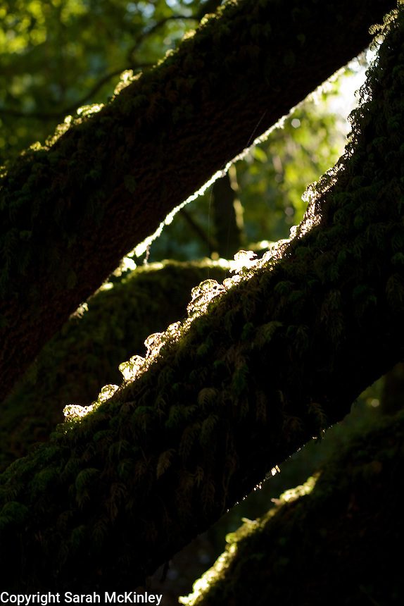 Moss covered branches are beautifully backlit in Little Darby in Willits in Mendocino County in Northern California.