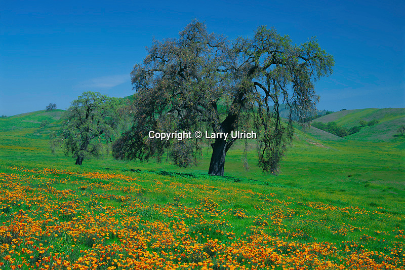 California poppies and valley oaks <br />