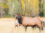 Bull Elk With Cows in the Tetons