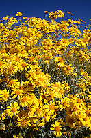 Brittlebush (Encelia farinosa) wildflowers along Christmas Tree Pass road Lake Mead Recreation Area, near Laughlin, Nevada