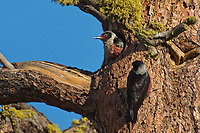 597940012 wild male and female lewis woodpeckes melanerpes lewis perch at a cavity nest in a large pine tree in washington state