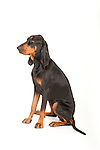 Black & Tan Coonhound Dog, Sitting, Studio, White Background