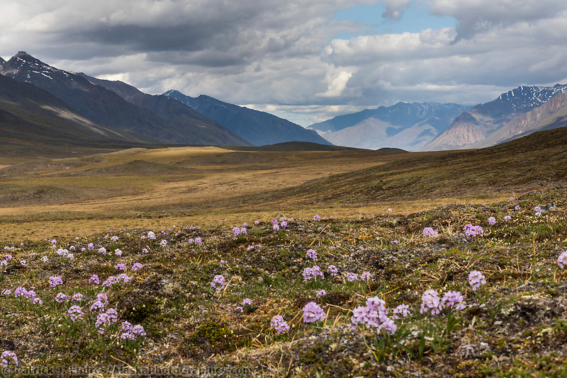 Parry's wallflower on the tundra in the continental divide of the Brooks Range, Gates of the Arctic National Park, Alaska.