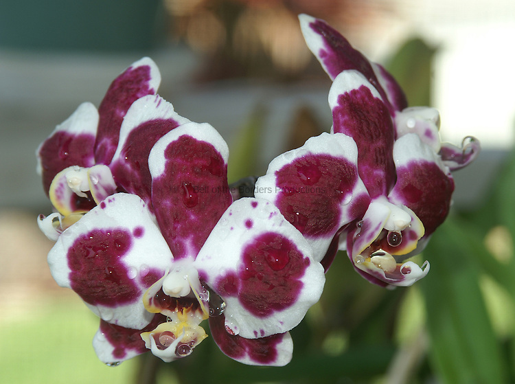 The water drops clinging to the orchid petals add a layer of beauty to the flowers.