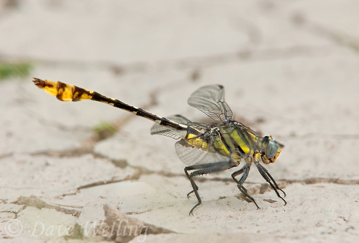 334250008 a wild male tamualipan clubtail gomphus gonzalezi perches on the groung along the rio grande river by naba in the lower rio grande valley in south texas
