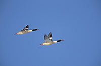 Common Merganser males in flight. North America. .(Mergus merganser). Digital Composition.