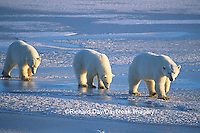 01874-01317 Polar Bears (Ursus maritimus) female with 2 cubs walking on frozen pond  Churchill  MB