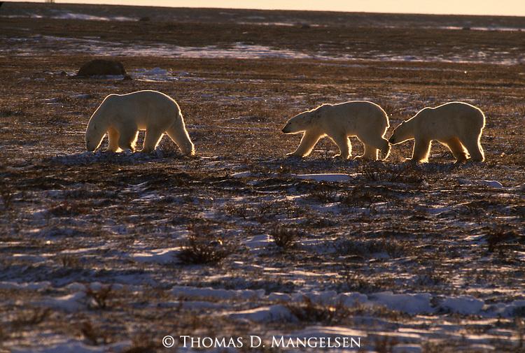 A polar bear family walks in a line, back lit by the sun in Churchill, Manitoba, Canada