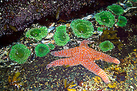 Nootka Island, British Columbia, Canada, August 2006. Brightliy coloured Starfish and anemones in a tidal pool. Low tide takes us over the beaches and rockshelves with tidal pools to the Crawfish Falls. Trekking the Nootka trail takes hikers through dense rainforest and along beaches full of marine life. Photo by Frits Meyst/Adventure4ever.com.