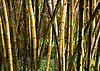 A bamboo forest at Allerton Garden, on the island of Kauai, Hawaii. Photo by Kevin J. Miyazaki/Redux