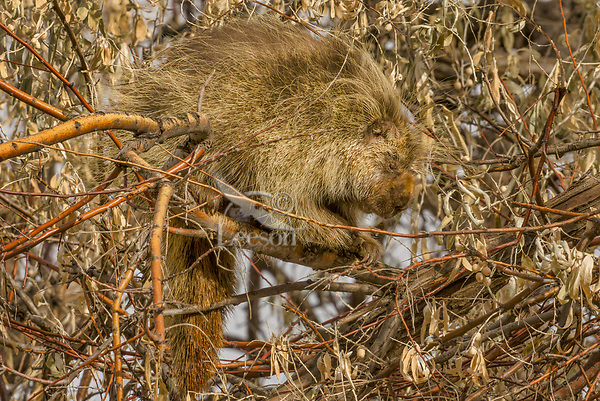 Male North American porcupine (Erethizon dorsatum)--also known as the Canadian porcupine or common porcupine--resting in bushy tree.  Western U.S., late fall.