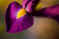 Closeup of a Japanese Iris flower