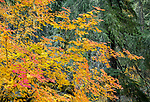 Willamette National Forest, OR: Autumn colors of vine maple (Acer circinatum) in forest