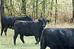 Live black Angus cattle.Kentucky Black Angus Cattle