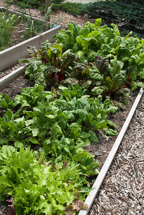 Salad vegetable garden with lettuce, spinach, kale in raised bed gardening