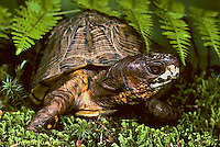 1R40-059x  Eastern Box Turtle - Terrapene carolina