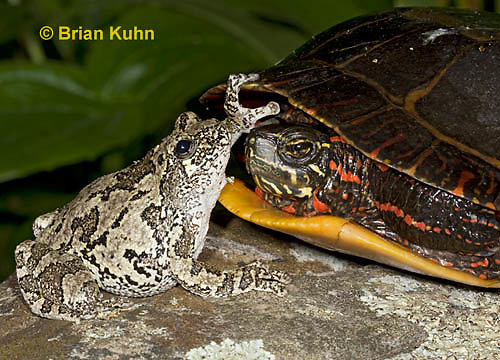 1R24-9063  Eastern Gray Treefrog - with painted turtle - Hyla chrysoscelis or Hyla versicolor,  © Brian Kuhn/Dwight Kuhn Photography