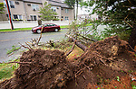WATERBURY , CT-080420JS08—Pine trees were uprooted on Oronoke Road in Waterbury as Tropical Storm Isaias tore through the region on Tuesday leaving a path of damage and many without power. <br /> Jim Shannon Republican-American