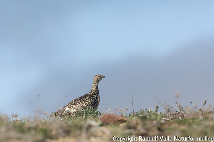 Fjellrype (Lagopus mutus) ---- Rock ptarmigan