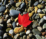 USA, Maine,  A Maple leaf on a Rock Background