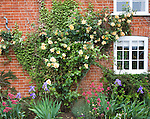 Apricot yellow Buff Beauty variety musk climber rose growing on brick cottage wall, Suffolk, England